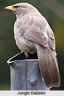Babblers, Indian Birds