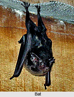 Bats, Indian Flying Mammal