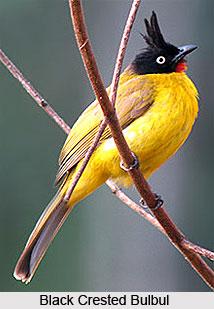 Black crested Bulbul, Bird