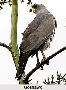 Goshawk, Bird