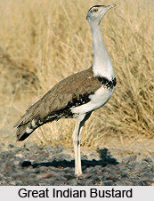 Great Indian Bustard, Bird