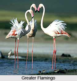 Greater Flamingo, Bird