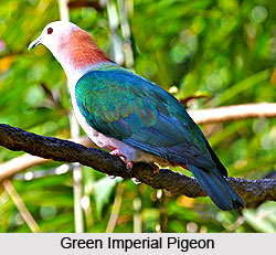 Green Imperial pigeon, Bird
