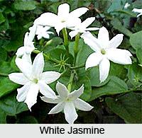 Jasmine, Indian Flower