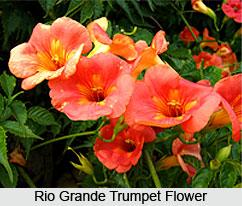 Rio Grande Trumpet Flower