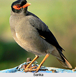 Sarika, Small Bird