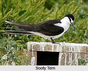 Sooty Tern, Bird