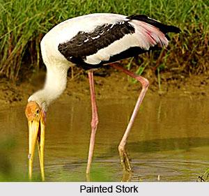 Stork, Indian Bird