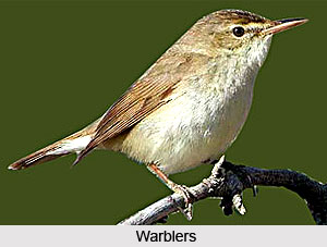 Warblers, Indian Birds