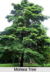 Mohwa Tree , Indian Trees