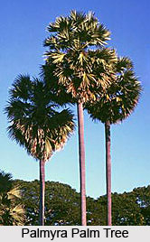 Palmyra Palm Tree, Indian Tree