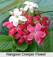 Rangoon Creeper  , Indian Shrub