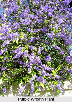 Purple Wreath  , Indian Shrub