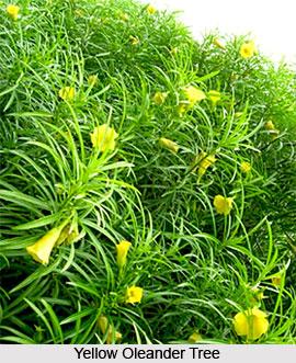 Yellow Oleander  , Indian Shrub