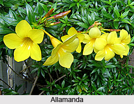 Allamanda  , Indian Shrub