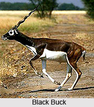 Black Buck, Indian Animal
