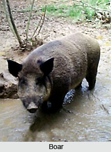Boar, Indian Animal