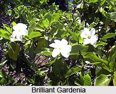 Brilliant Gardenia  , Indian Shrub