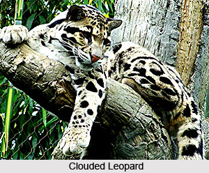Clouded Leopard, Indian Animal