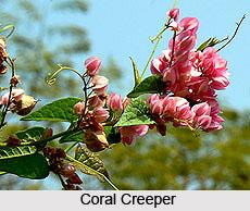 Coral Creeper  , Indian Shrub