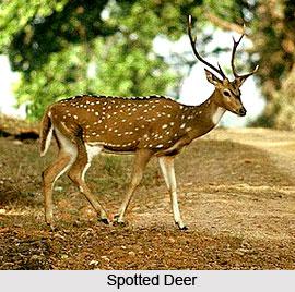 Deer , Indian Animal