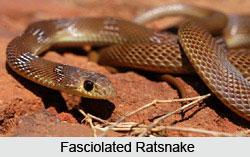 Fasciolated Ratsnake