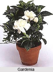 Gardenia , Indian Shrub
