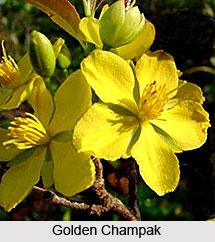 Golden Champak  , Indian Shrub