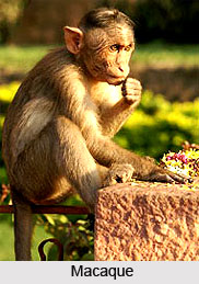Macaque, Indian Animal