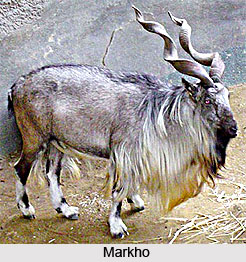 Markhor, Wild Goat, Indian Animal
