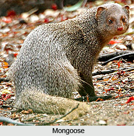Mongoose, Indian Animal