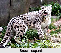 Snow Leopard, Indian Animal
