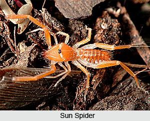 Sun Spiders, Indian Species