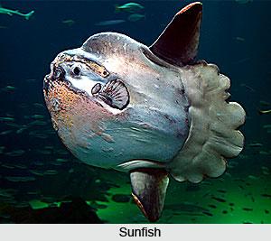 Sunfish, Indian Marine Species