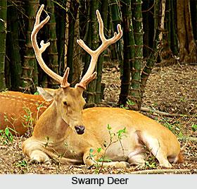 Swamp Deer, Indian Wild Animals