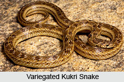 Variegated Kukri  Snake