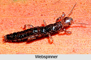 Webspinners,Indian Species