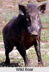 Wild Boar, Indian Animal