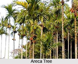 Areca Tree