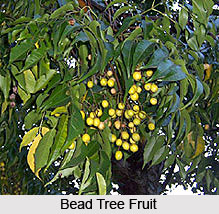 Bead Tree , Indian Tree