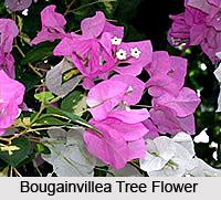 Bougainvillea Tree , Indian Tree