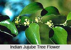 Indian Jujube Tree , Indian Trees