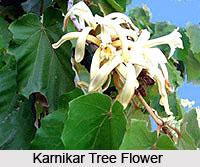 Karnikar Tree , Indian Trees