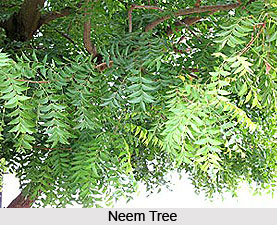 Neem Tree, Indian Tree
