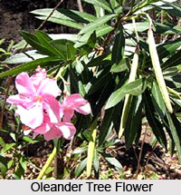 Oleander Tree , Indian Trees