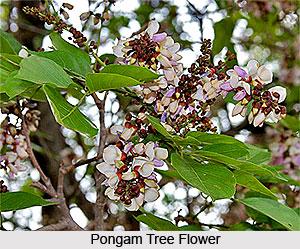 Pongam Tree, Indian Tree