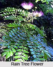 Rain Tree, Indian Tree