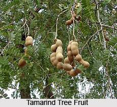 Tamarind Tree, Indian Plant