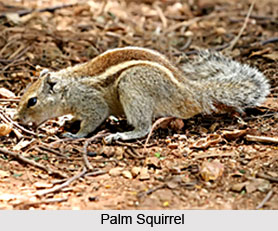 Squirrels, Indian Species