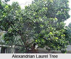 Alexandrian Laurel Tree